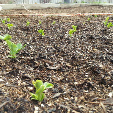 My Adventures in Gardening Series: little seedlings