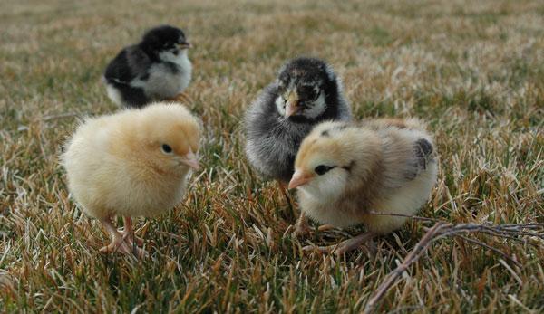 Black Baby Chickens