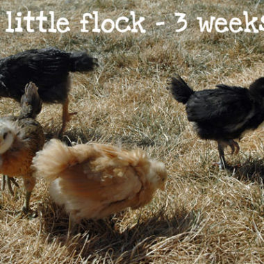 Happy Homesteading: Chickens are 3 Weeks Old