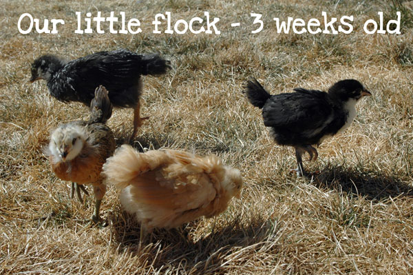 flock3weeks