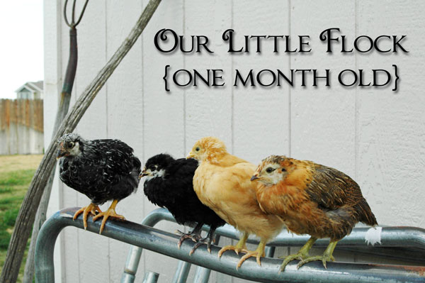 Happy Homesteaders Chicken Flock at 4 weeks old