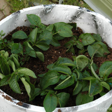 Update on Growing Potatoes in a Garbage Can {week 4}