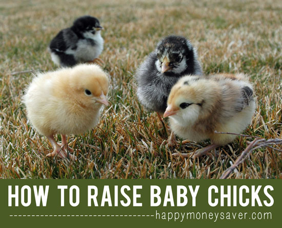 How to Raise Baby Chicks - A Beginners