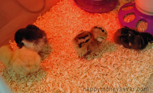 Baby Chicks Care