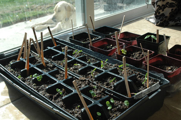 The Ones I Am Doing By Seed Indoors This Year Are 3 Giant Pumpkins One Tomato Plant Lots Of Marigolds 6 Celery And 8 Basil
