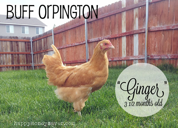 Buff Orpington Chicken 3 months old