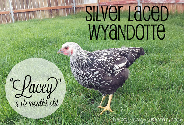 Silver Laced Wyandotte Chicken 3 months old