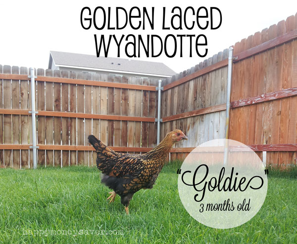 Golden Laced Wyandotte Chicken 3 months old
