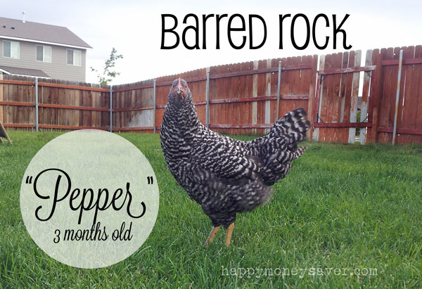 Barred Rock Chicken 3 months old