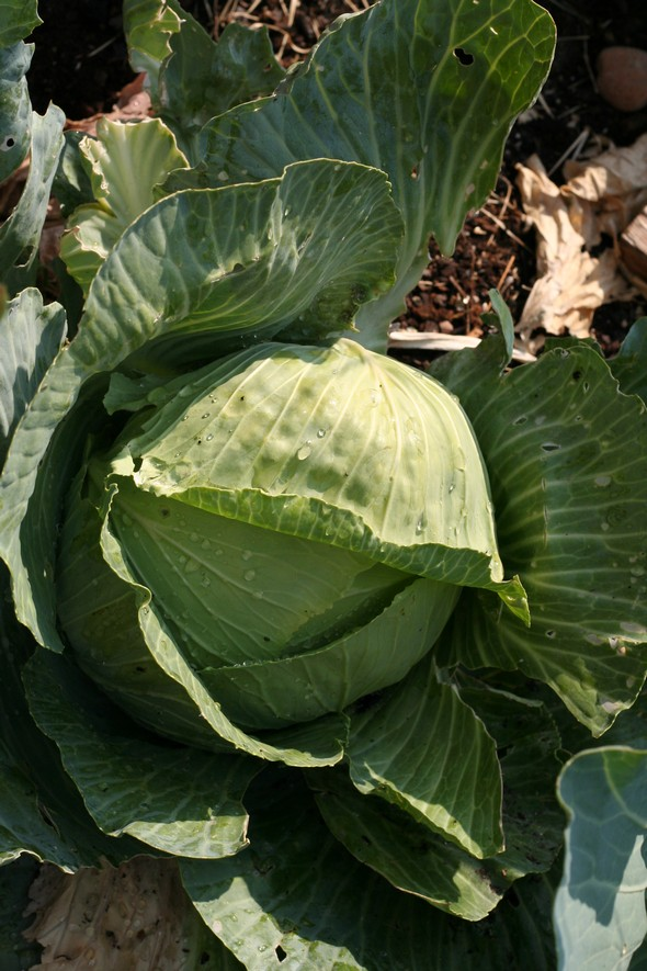 fresh garden cabbage