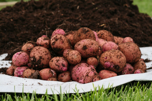 Harvesting Red Potatoes using the Garbage Can Method
