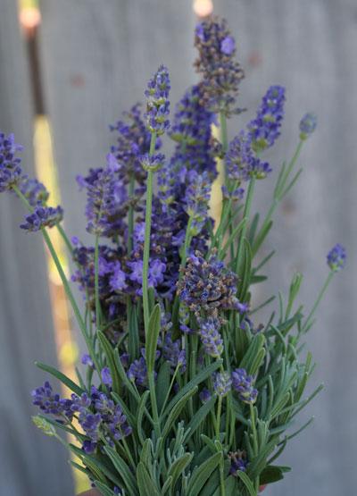lavendar3