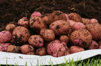 Harvesting my Red Potatoes | Garbage Can Method