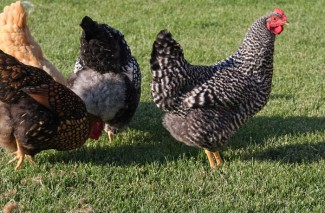 Pepper is no longer Broody – Homesteading Chicken Adventures