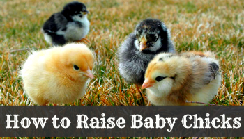 How to Raise Baby Chicks