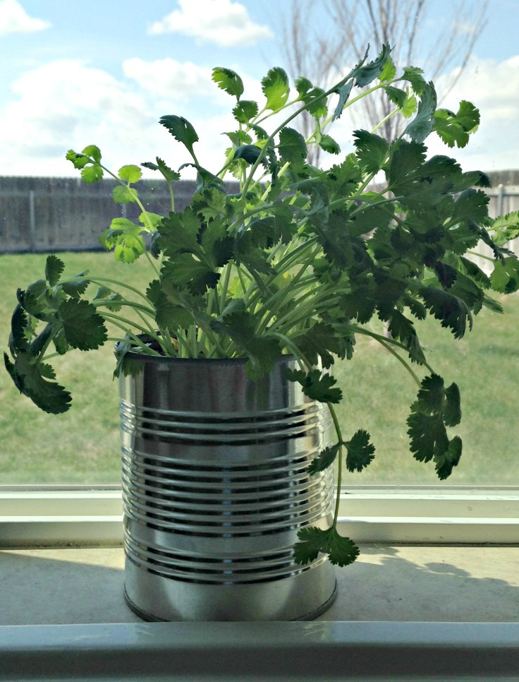 Regrow cilantro and use upcycled cans for herb gardens indoors