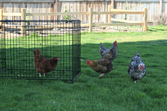 Introducing NEW chickens to your existing flock
