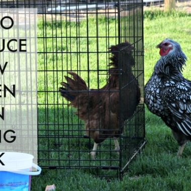 How to Introduce a New Chicken into your Existing Flock