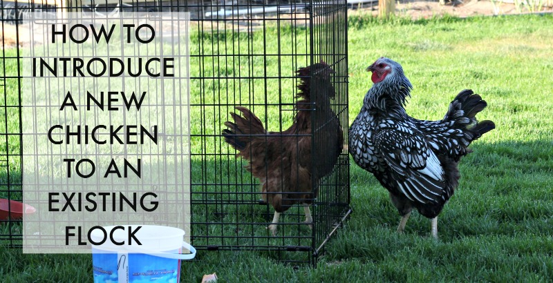 How to introduce a new chicken to an existing flock - great thing to know when we get more chickens!