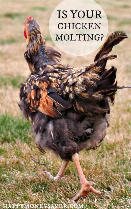 Chickens 101 - Chicken Molting. Is your chicken losing feathers? Read all about the signs of chicken molting.