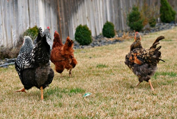 Losing Feathers? Signs you have a Chicken Molting