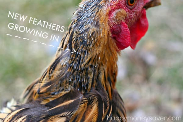 Losing Feathers? Signs you have a Chicken Molting. Happymoneysaver.com