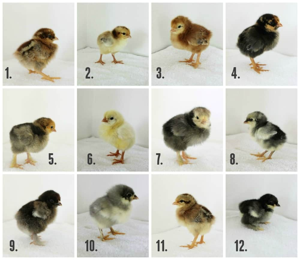 chicks-collage-1